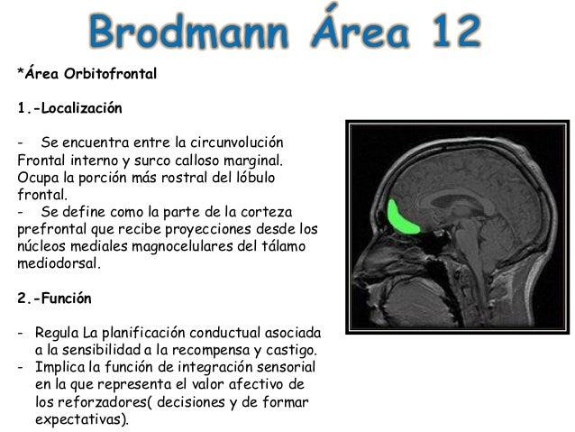 area 17 de brodmann pdf