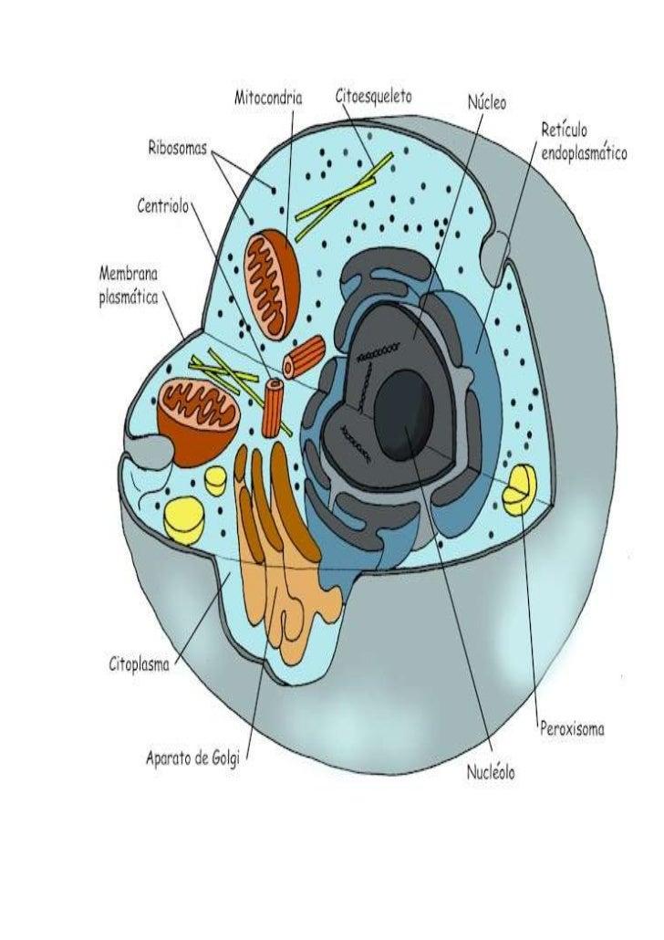 celula eucariota y sus partes y funciones pdf