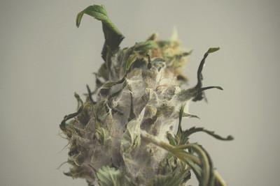 como hacer crop cannabis pdf