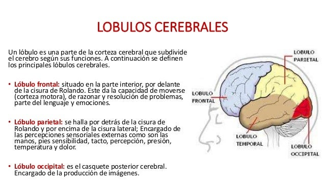 cisura lateral del cerebro funcion pdf